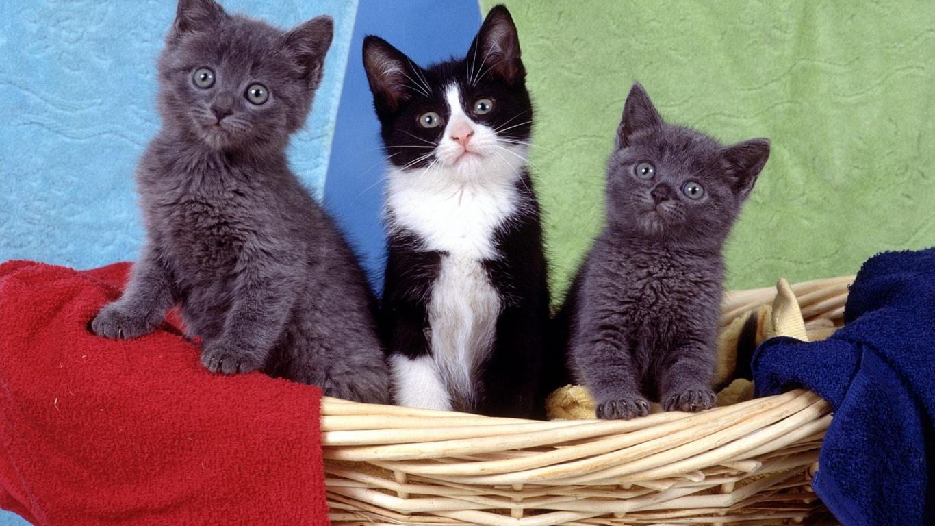 عکس زیبا و جالب از گربه های مشکی و خاکستری با چشم های   جالب و عجیب
